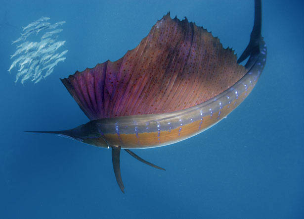 The world s fastest animals on land sea and air for What is the fastest swimming fish