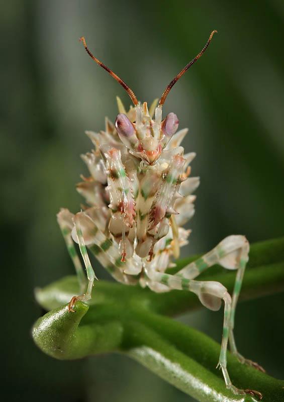 chow gar praying mantis by blepharopsis The Incredible Praying Mantis [25 pics]