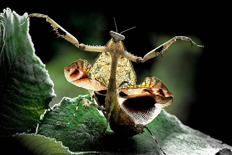 dance of the mantis by samlim The Incredible Praying Mantis [25 pics]