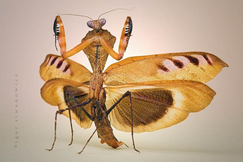 deroplatys desiccata by blepharopsis The Incredible Praying Mantis [25 pics]