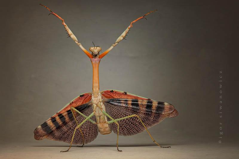 dervish by blepharopsis The Incredible Praying Mantis [25 pics]