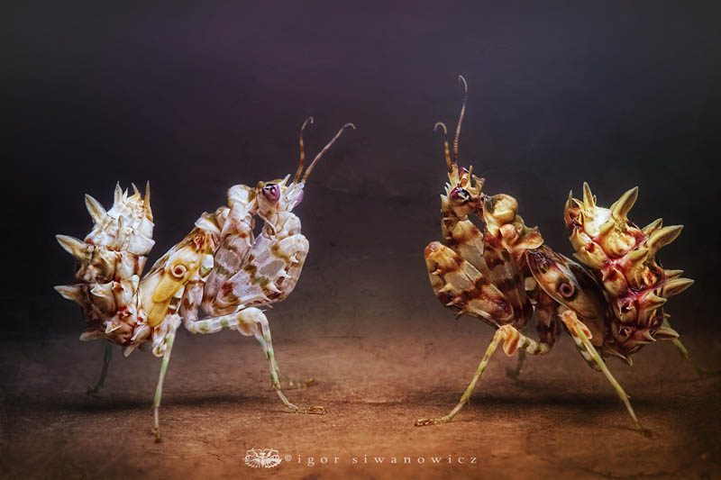 fightclub by blepharopsis d4eprrb The Incredible Praying Mantis [25 pics]