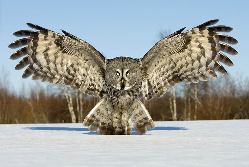 great grey owl wings spread Picture of the Day: The Great Grey Owl