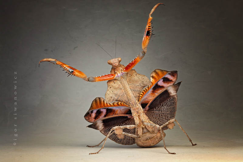 it  s just a jump to the left by blepharopsis The Incredible Praying Mantis [25 pics]
