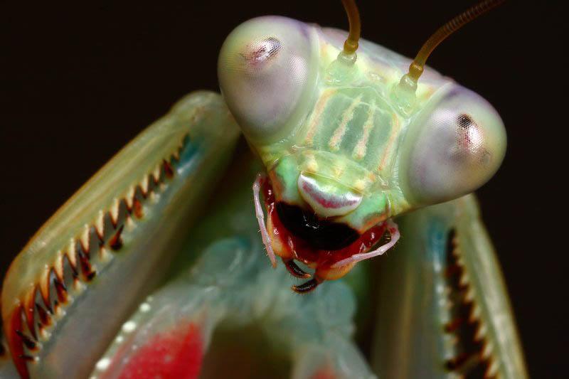 jade mantis threat pose 2 by macrojunkie The Incredible Praying Mantis [25 pics]