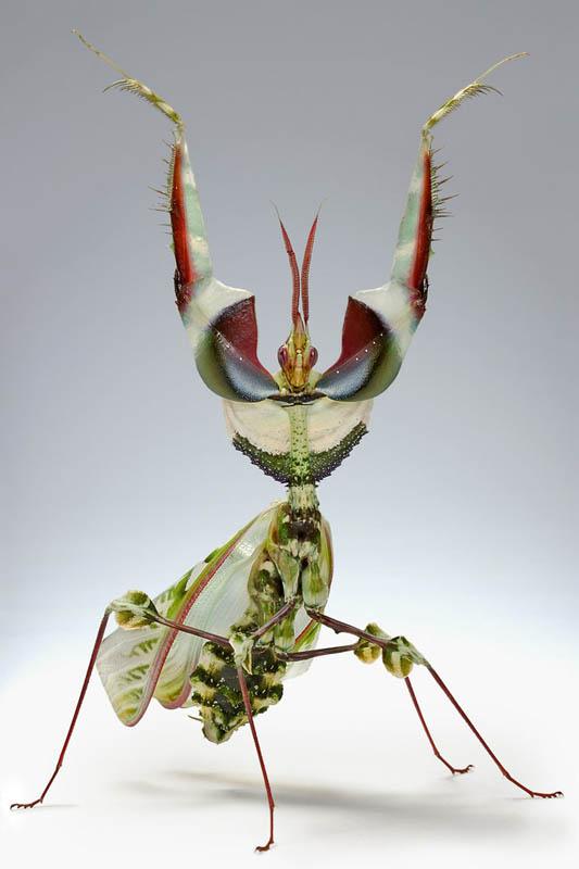latin dance machine by blepharopsis The Incredible Praying Mantis [25 pics]