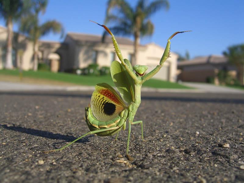 mantis by hey its laura The Incredible Praying Mantis [25 pics]