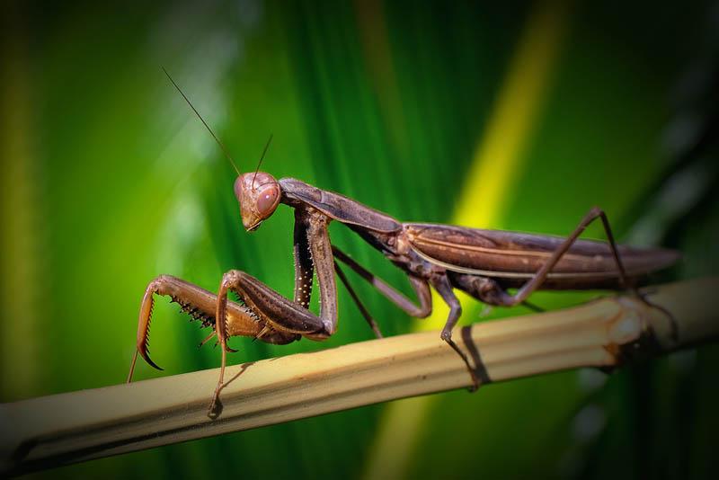 praying mantis 2 The Incredible Praying Mantis [25 pics]