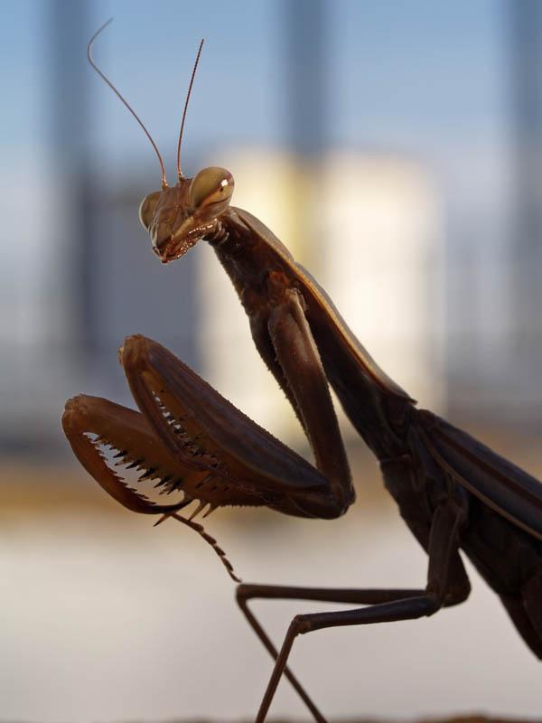 praying mantis 5 The Incredible Praying Mantis [25 pics]