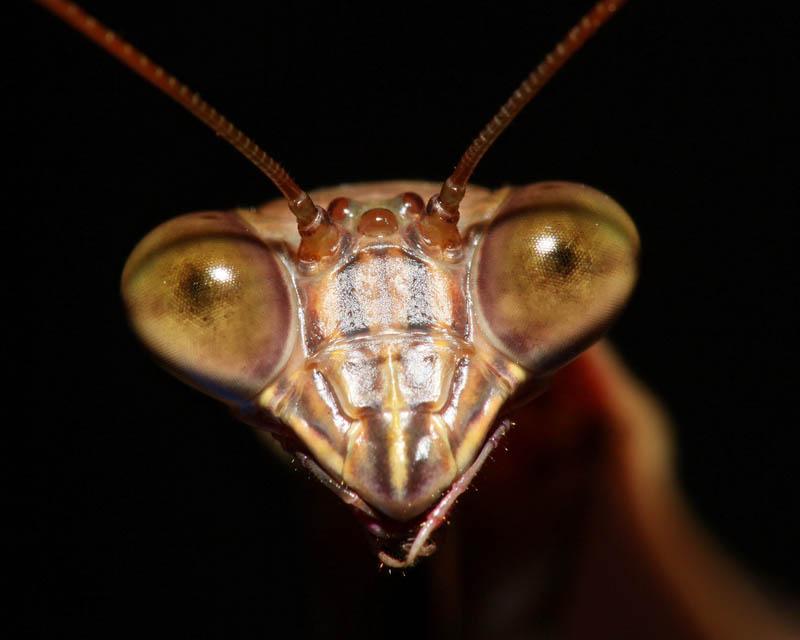 praying mantis 6 The Incredible Praying Mantis [25 pics]