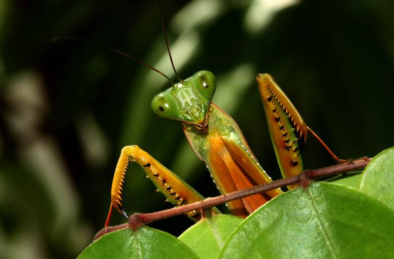 praying mantis 7 The Incredible Praying Mantis [25 pics]