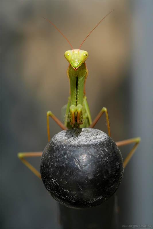 praying mantis by miki3d The Incredible Praying Mantis [25 pics]