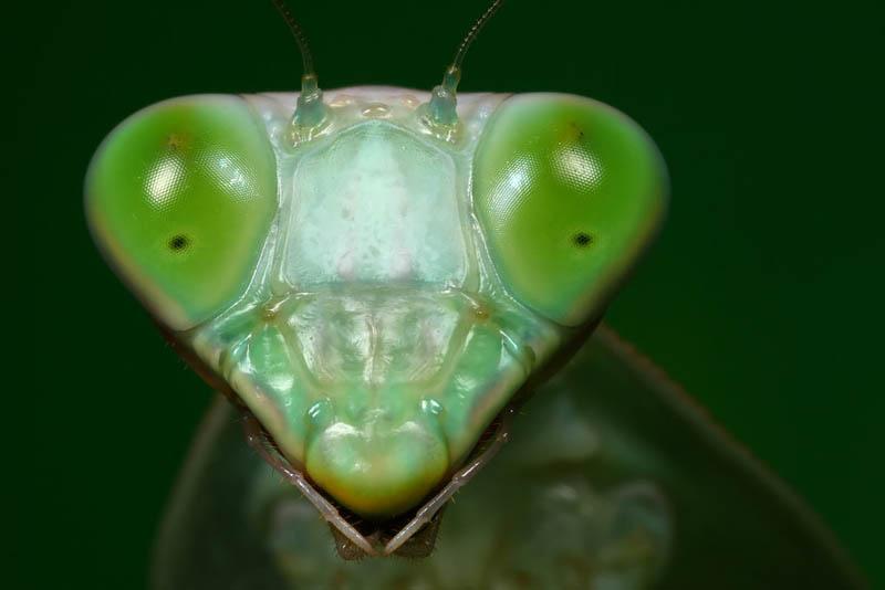shield mantis 2 by macrojunkie The Incredible Praying Mantis [25 pics]