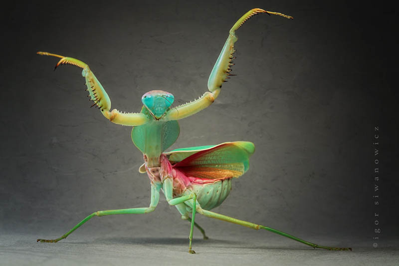 praying mantis wings out