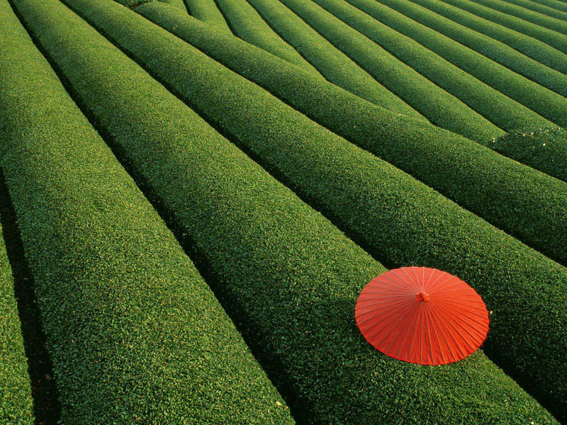 Picture of the Day: Stunning Tea Field in Japan