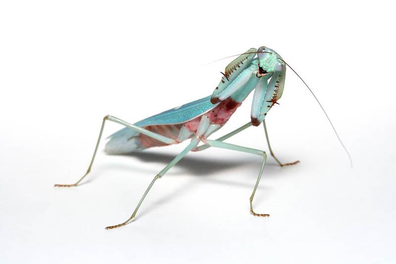 threat pose jade mantis male by macrojunkie The Incredible Praying Mantis [25 pics]