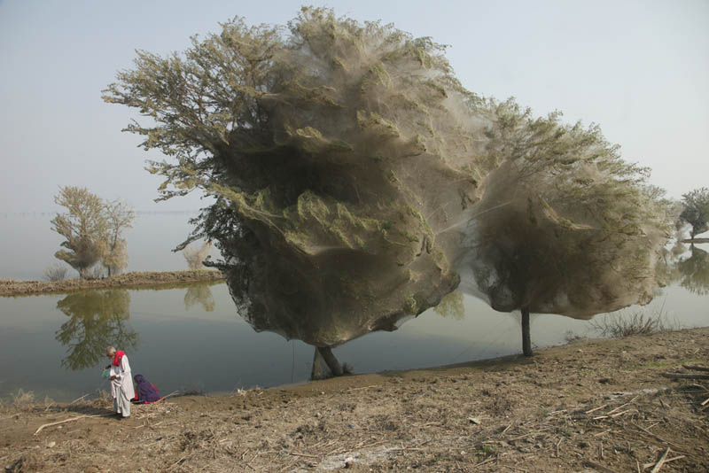 trees covered in spider webs in pakistan 1 Trees Turned Into Giant Spider Webs From Flooding