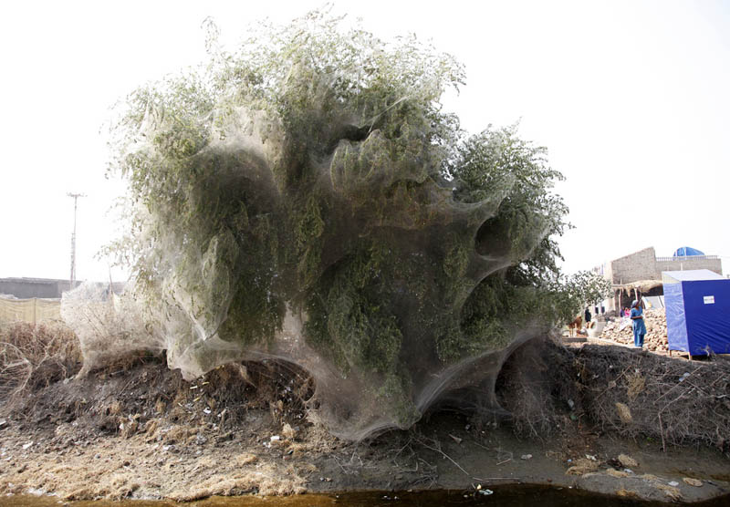 trees covered in spider webs in pakistan 2 Trees Turned Into Giant Spider Webs From Flooding