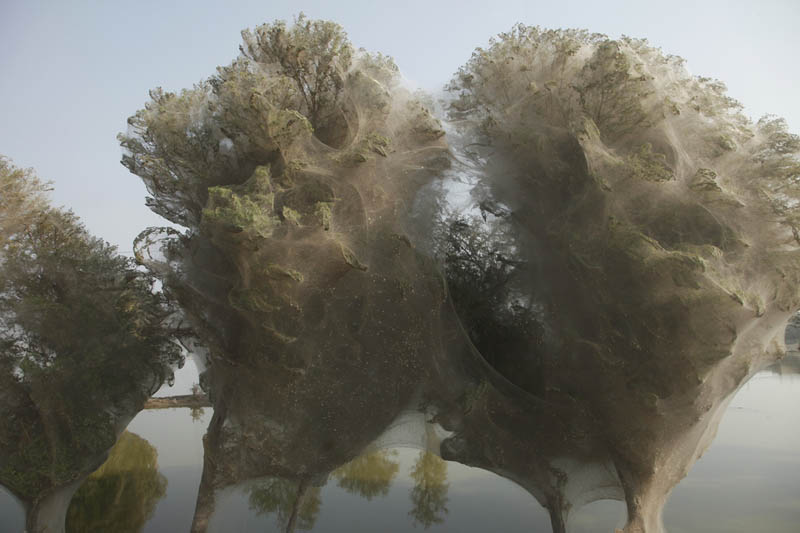 trees covered in spider webs in pakistan 3 Trees Turned Into Giant Spider Webs From Flooding