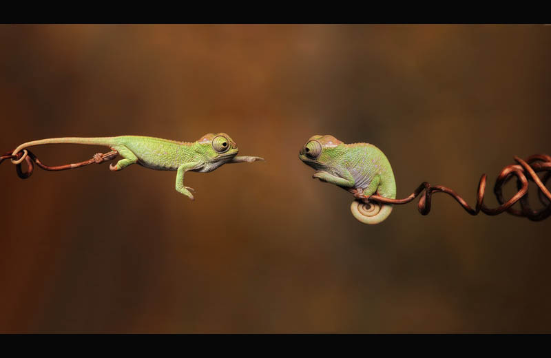 Picture of the Day: Baby Chameleons Branching Out