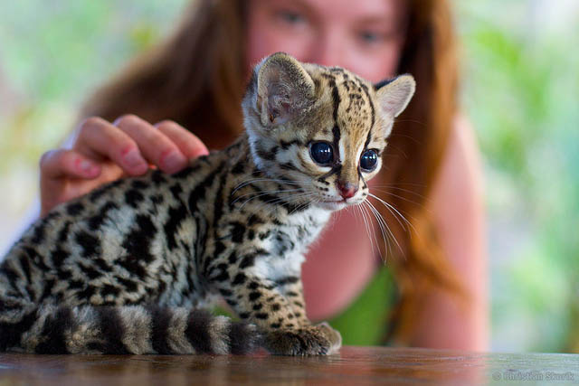 baby ocelot The Adorable Ocelot [30 pics]