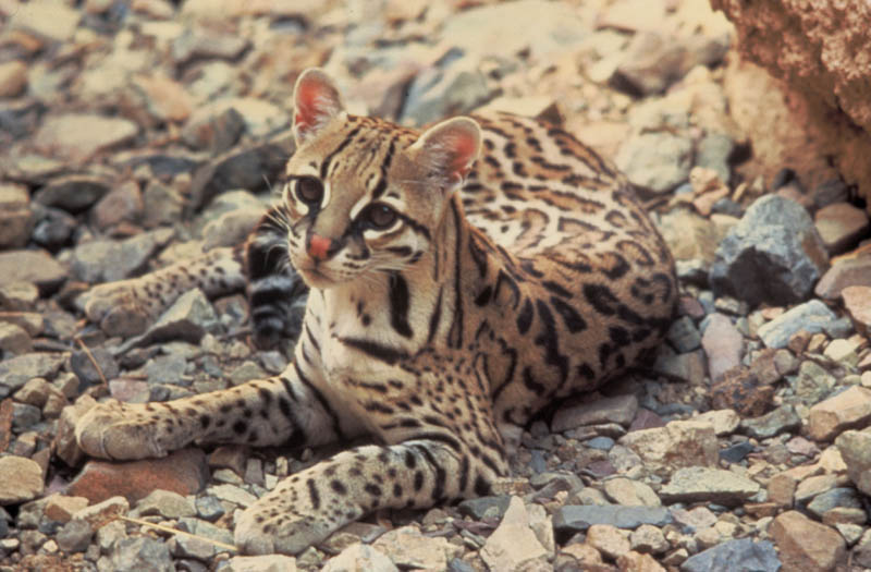 dwarf leopard The Adorable Ocelot [30 pics]