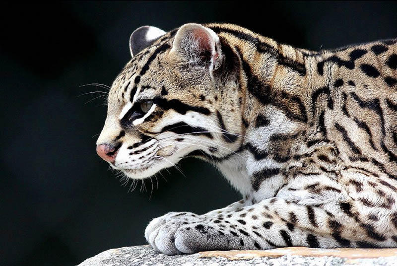 The Adorable Ocelot [30 pics]