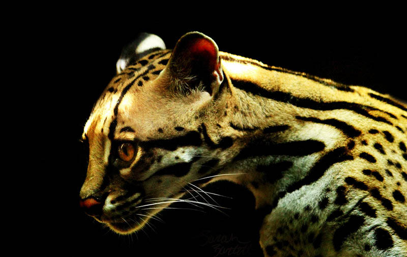 ocelot in darkness by naturepunk d426vwu The Adorable Ocelot [30 pics]