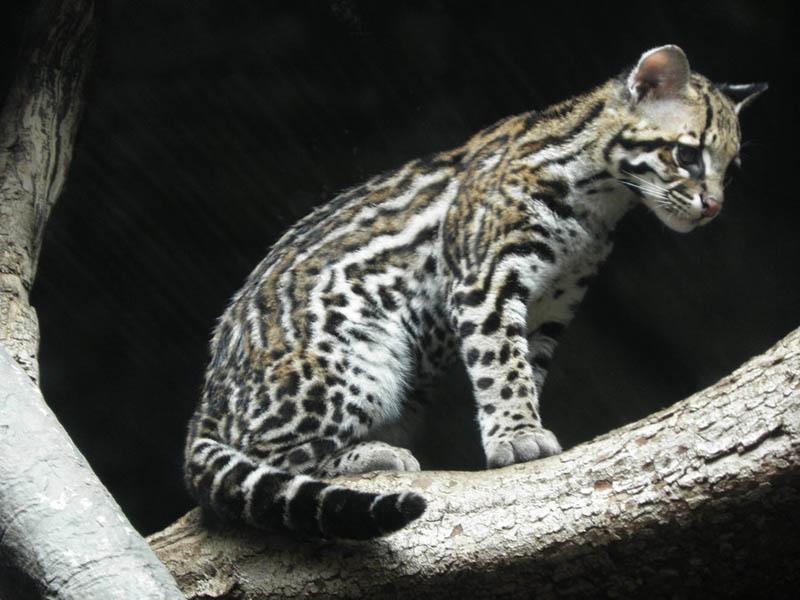 Ocelot Kitten Gif ocelot kitten by