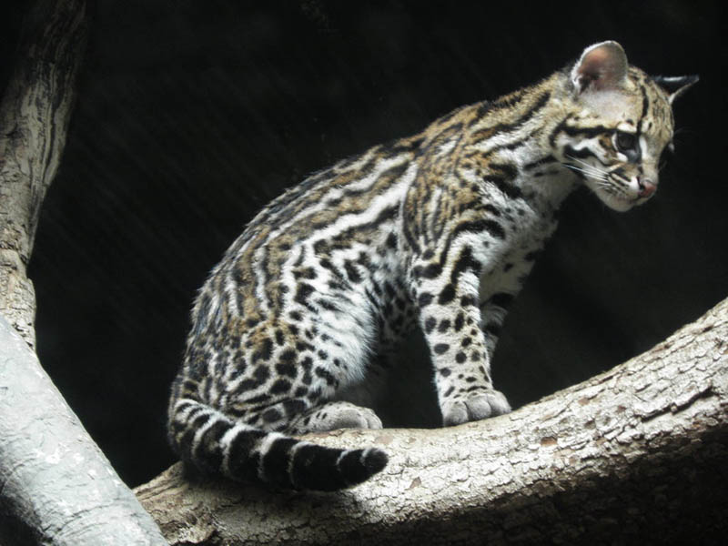 ocelot kitten by canislupuscorax The Adorable Ocelot [30 pics]