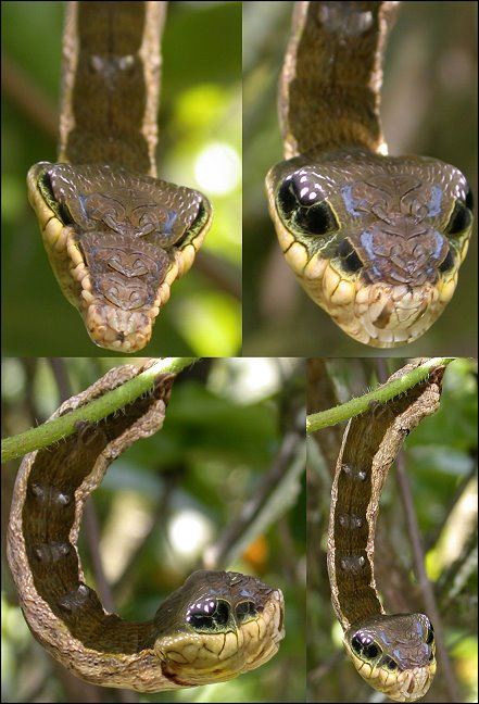 caterpillar that looks like a snake elephant hawk moth 1 The Amazing Caterpillar That Looks Like a Snake