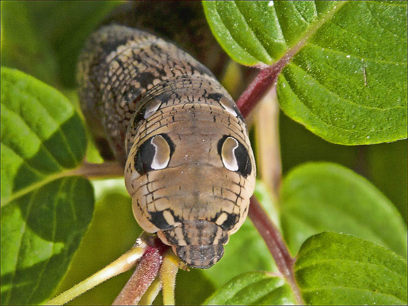 the amazing caterpillar that looks like a snake 171twistedsifter