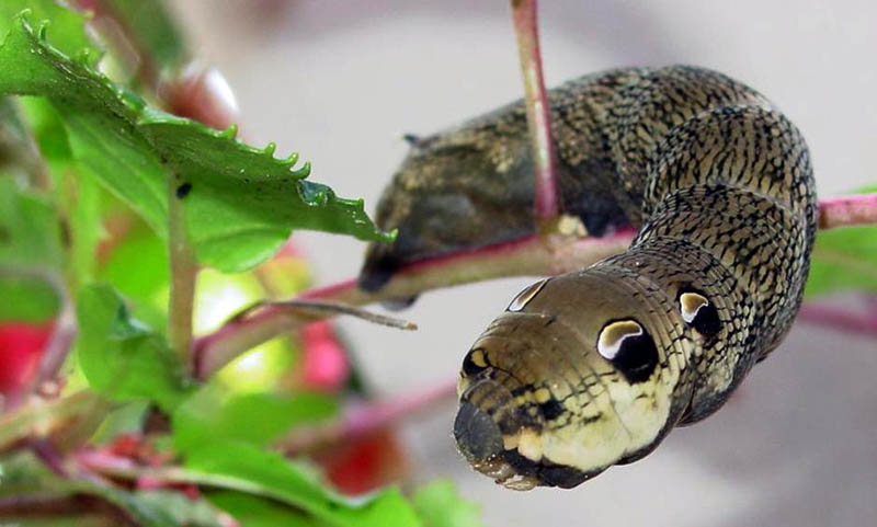 caterpillar that looks like a snake elephant hawk moth 4 The Amazing Caterpillar That Looks Like a Snake