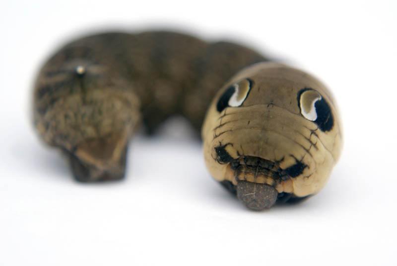 caterpillar that looks like a snake elephant hawk moth 5 The Amazing Caterpillar That Looks Like a Snake