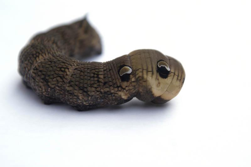 caterpillar that looks like a snake elephant hawk moth 6 The Amazing Caterpillar That Looks Like a Snake