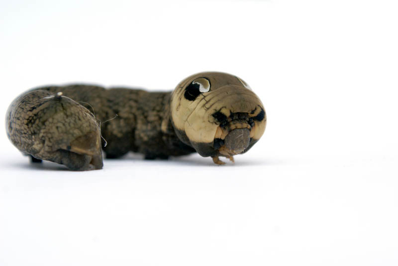 caterpillar that looks like a snake elephant hawk moth 8 The Amazing Caterpillar That Looks Like a Snake
