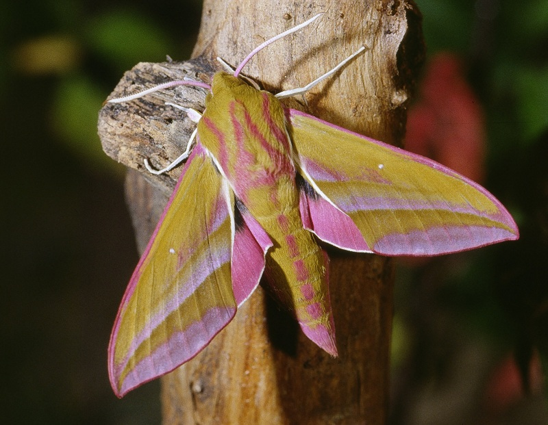 caterpillar that looks like a snake elephant hawk moth 9 The Amazing Caterpillar That Looks Like a Snake
