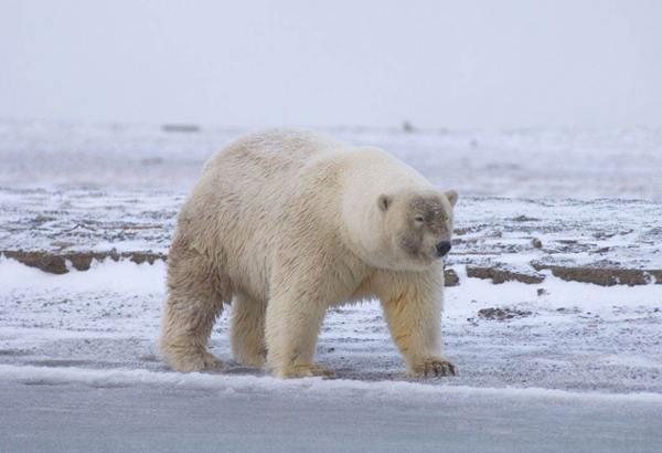 grolar bear 1 10 Bizarre Hybrid Animals