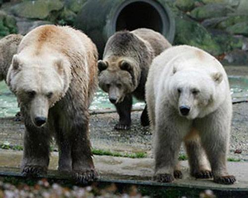 grolar 10 Bizarre Hybrid Animals