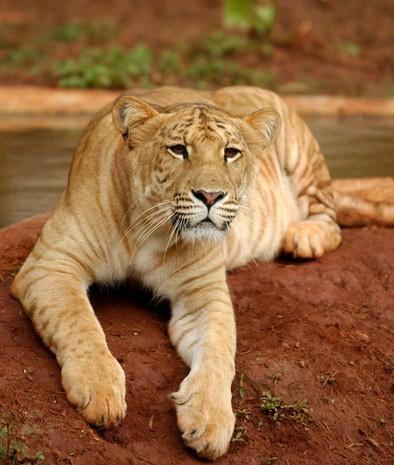 liger 10 Bizarre Hybrid Animals