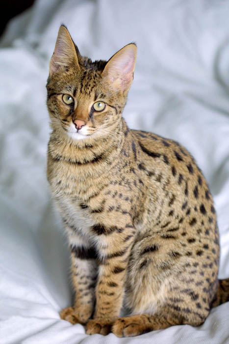 savannah cat portrait 10 Bizarre Hybrid Animals