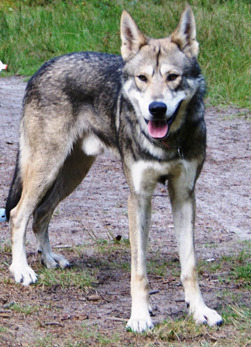 wolfdog 10 Bizarre Hybrid Animals
