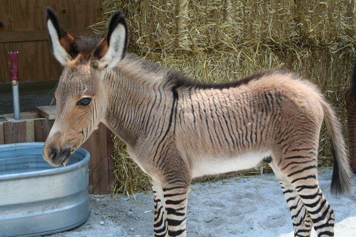 Horse N Donkey Breeding or Zonkey  ZebraDonkey