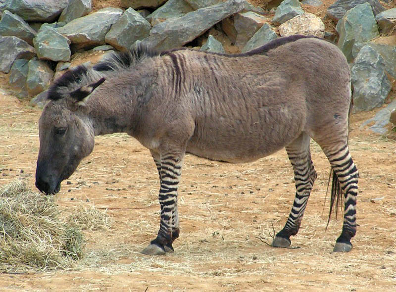 zeedonk zonkey zebroid 10 Bizarre Hybrid Animals