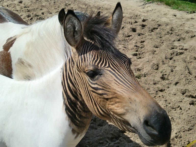 zorse zebroid 10 Bizarre Hybrid Animals