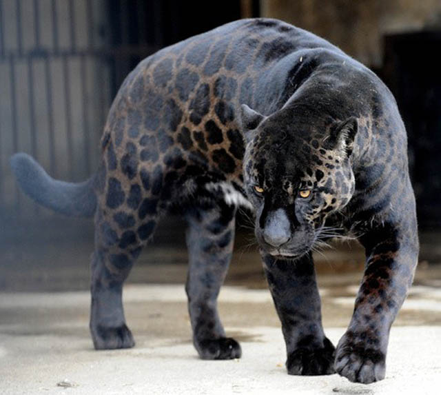 black leopard panther jaguar melanistic big cat This Cat Has the Worlds Most Interesting Face