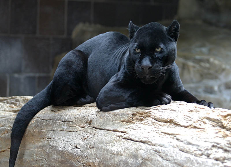 black panther jaguar leopard melanistic big cat 2 10 Incredible Melanistic (All Black) Animals