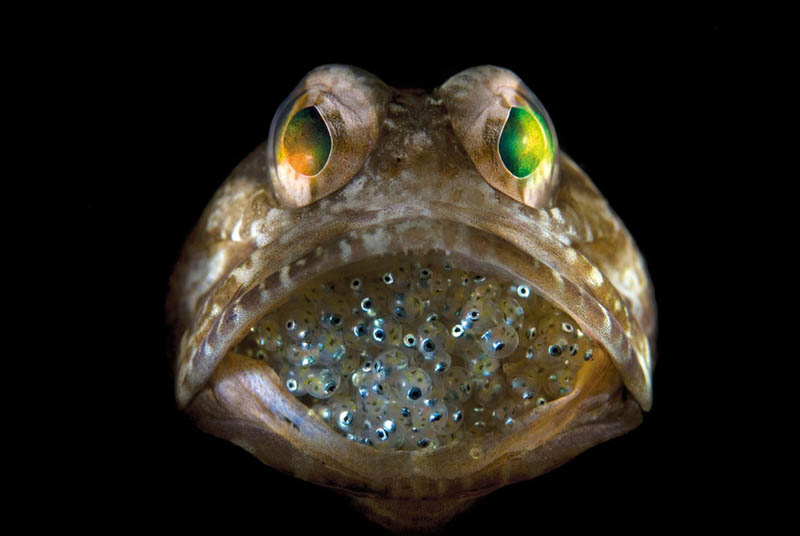 Picture of the Day: Male Jawfish MouthbroodingOffspring