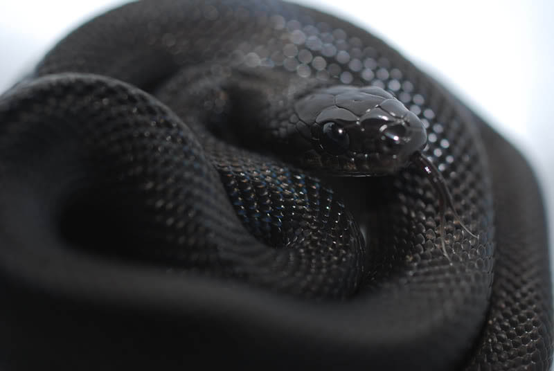 melanistic black dione ratsnake 10 Incredible Melanistic (All Black) Animals