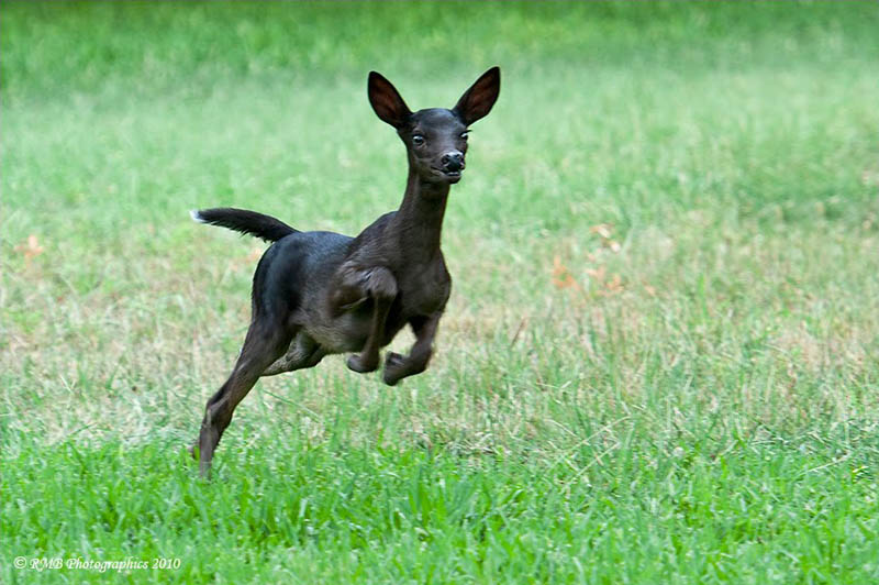 1000  images about Melanistic Animals on Pinterest | Coyotes ...